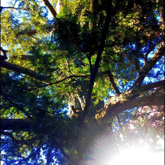 かやの木IMG_2191